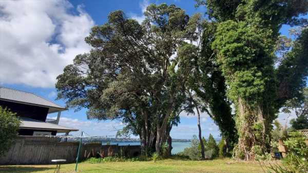 Auckland Council investigating a large protected pōhutukawa chopped down in Birkenhead